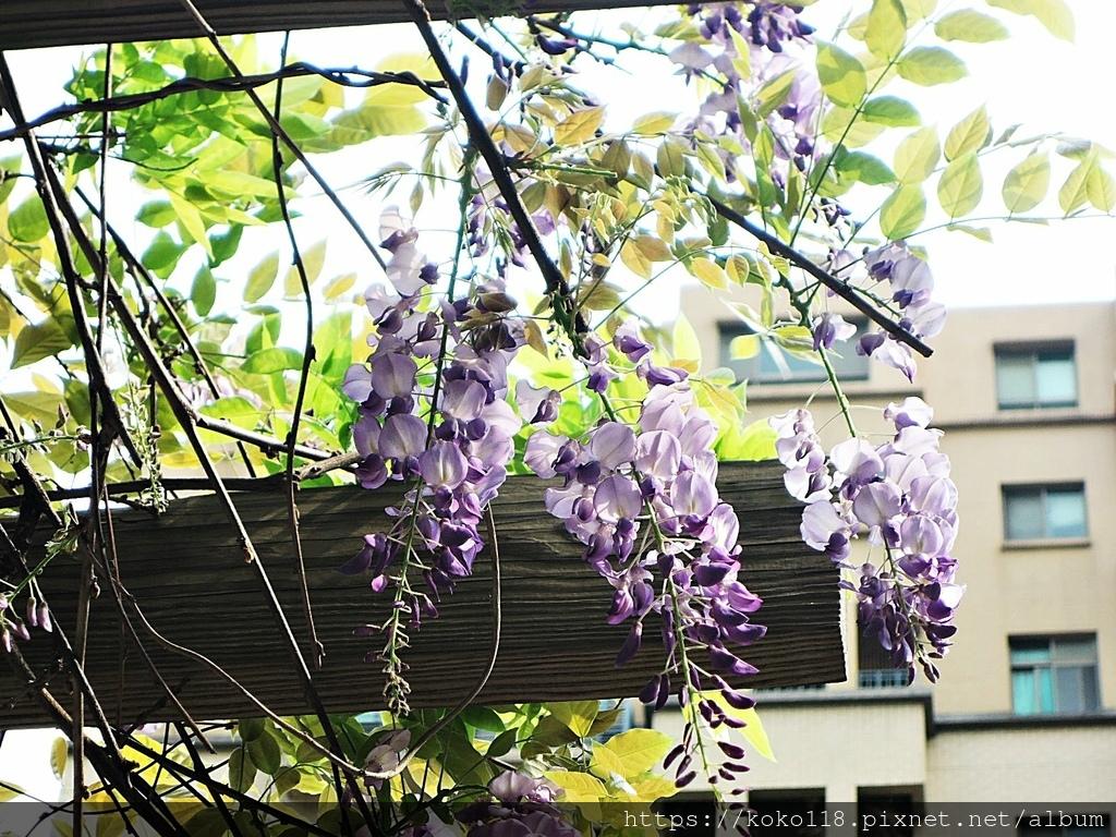 110.3.31 社區-紫藤2.JPG