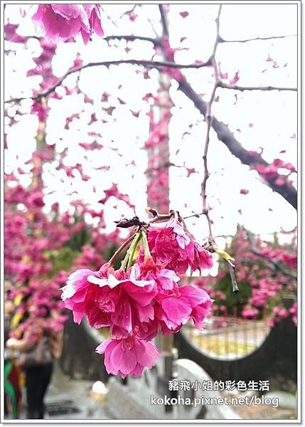 泰安櫻花 (5)