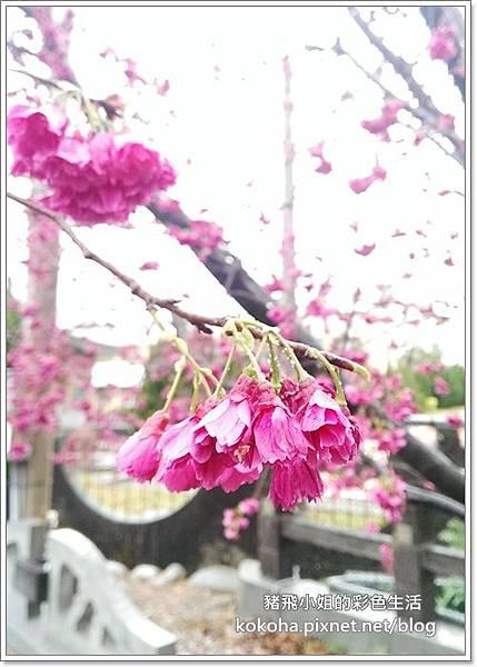 泰安櫻花 (6)