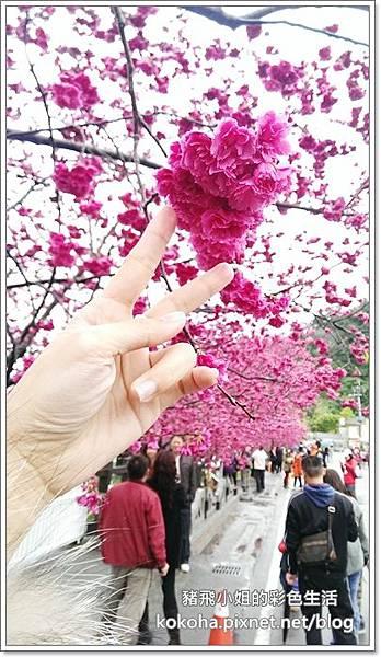 泰安櫻花 (9)