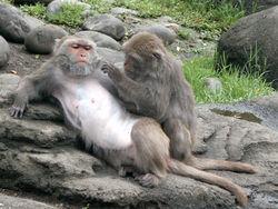 台灣彌猴1