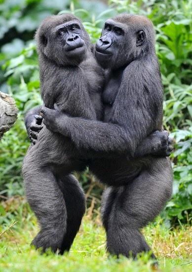 擁抱的猩猩