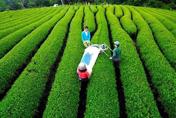兵庫・朝来で一番茶収穫
