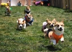 コーギーが「最速犬」の称号