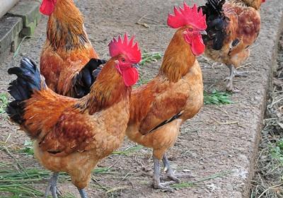雞181016