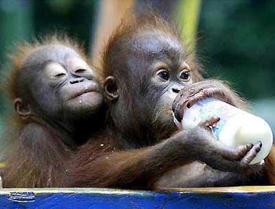 猴子吃奶.jpeg
