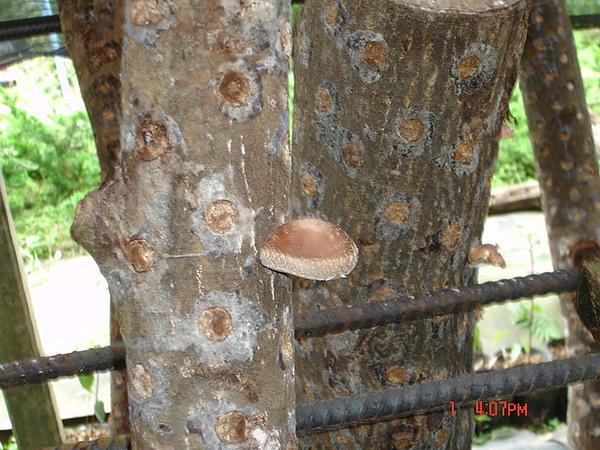20090501-0517苗栗南庄獅潭三義苑裡旅行 007