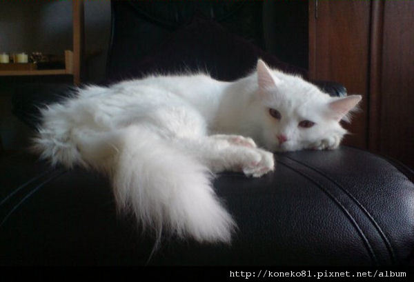 turkish-van (3).jpg