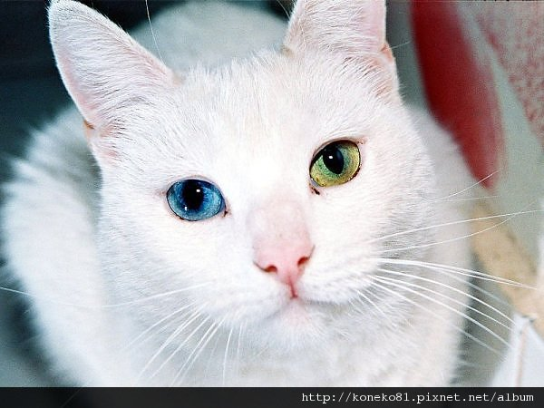 turkish-van.jpg
