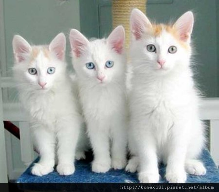turkish-van-kitten-descent.jpg