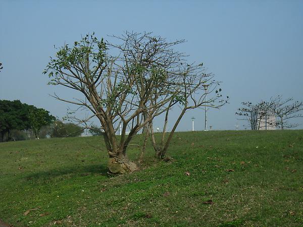 種很下去的樹