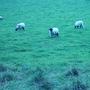 唯一看鏡頭的羊!