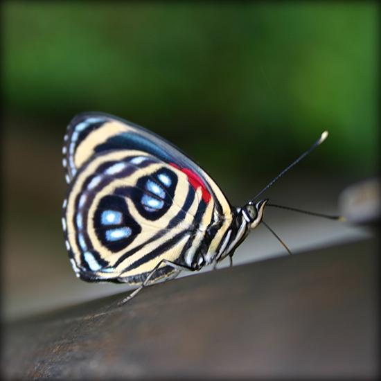 巴西蝴蝶之謎