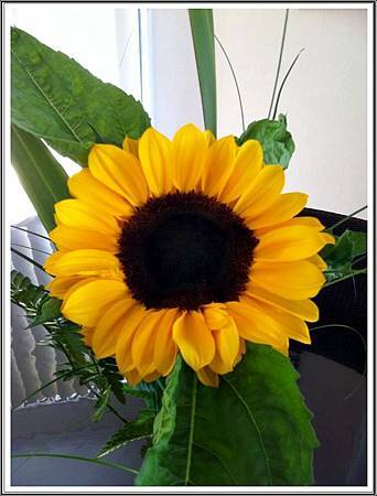 Sunflower2a