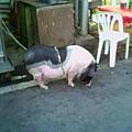46好大一隻豬
