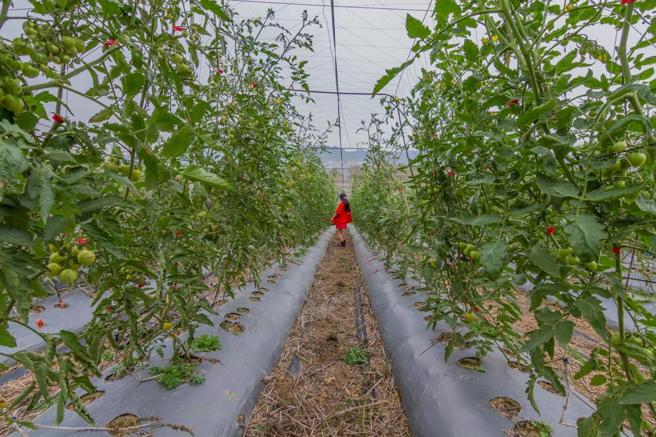 大崗山觀光草莓園