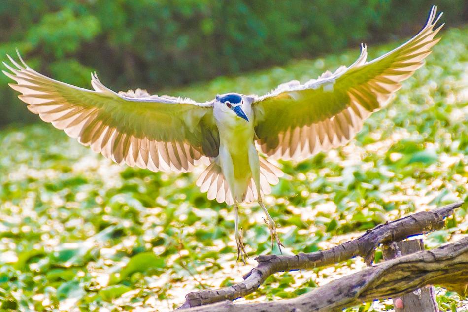鳥松濕地公園拍鳥去