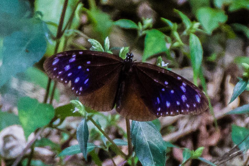 高雄旅遊 - 茂林紫斑蝶
