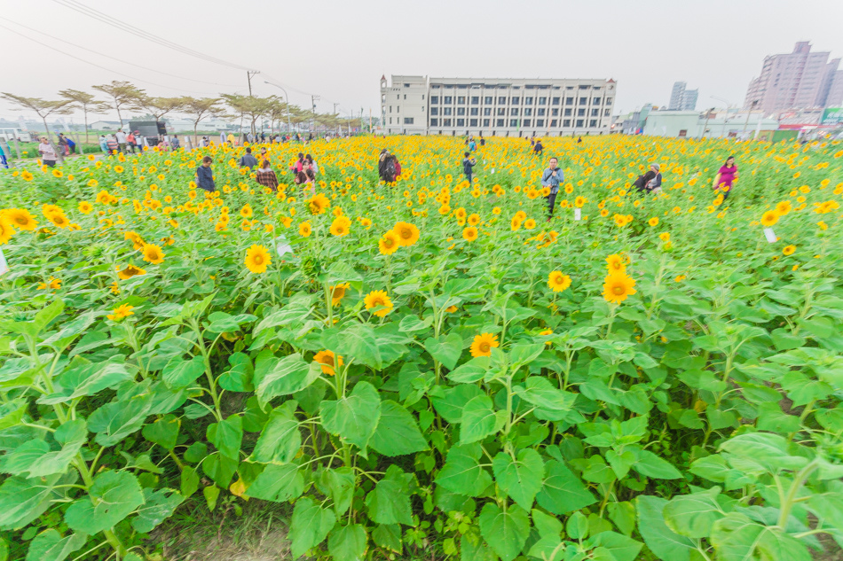2016年橋頭花海