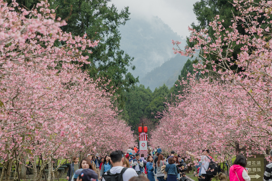 九族櫻花季