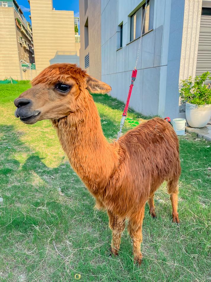 藍田公園羊駝