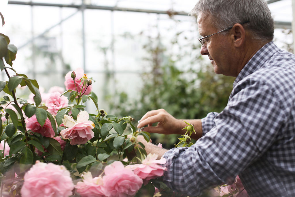 迪奧岡維拉玫瑰初蕾採集過程 -1