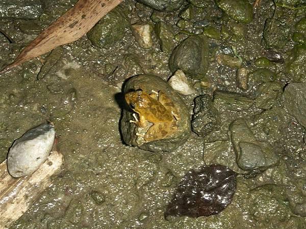 Jul.13-09山下之家青蛙樂園05疑似褐樹蛙.JPG