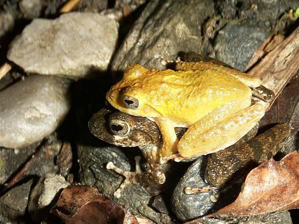 Jul.13-12山下之家青蛙樂園08艾氏樹蛙抱抱.JPG