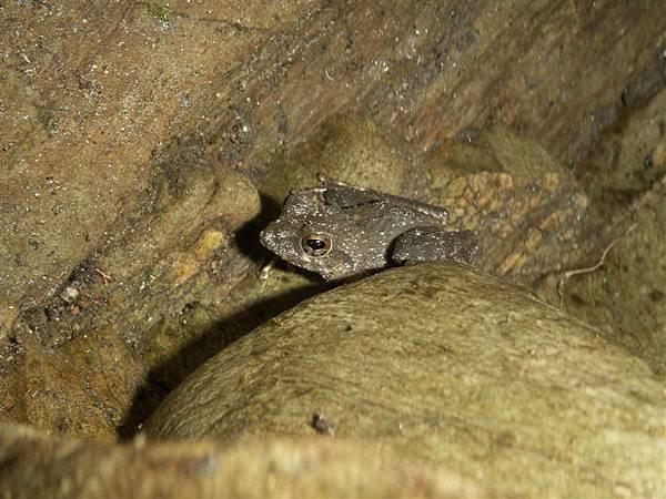 Jul.14-19躲在joint裡的面天樹蛙.JPG