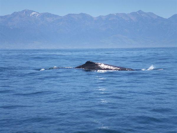 PICT1338-Dorsal of the giant Sperm Whale (Kaikoura).JPG