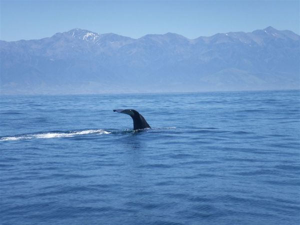 PICT1339-Sperm Whale before taking a deep dive at Kaikoura.JPG