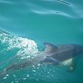 PICT1347-Dusky dolphin visited us at Kaikoura.JPG