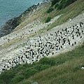 PICT1454-Stewart Island Shag breeding ground with nesting Royal Albatross on Taiaroa Head, Otago Pen