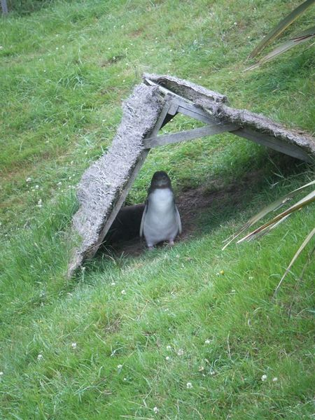 PICT1510-Young Penguin!.JPG
