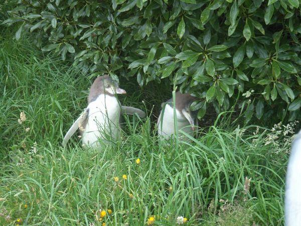 PICT1550-Penguin Babies!!.JPG