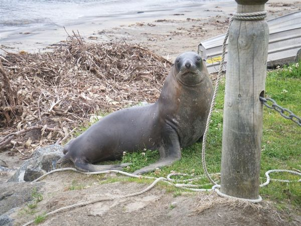PICT1715-NZ Sea Lion at Halfmoon Bay, Stewart Island.JPG