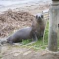 PICT1715-NZ Sea Lion at Halfmoon Bay, Stewart Island.JPG