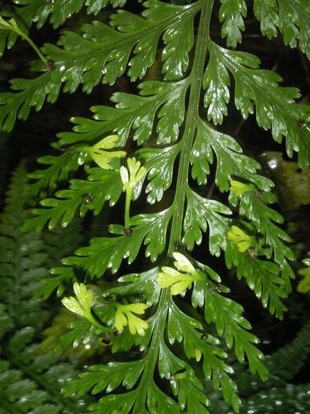 PICT1718-Special reproduction of ferns on Stewart Island.JPG