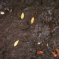 PICT1755-Footprint of the Brown Kiwi!! on Ulva Island.JPG
