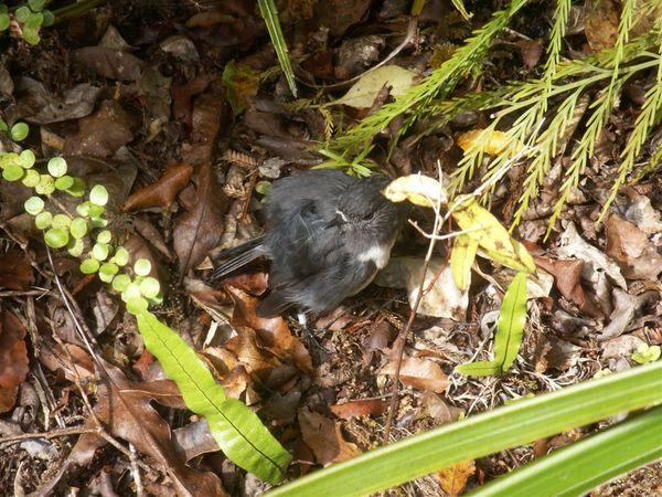 PICT1771-The most lovely Stewart Island Robin on Ulva!.JPG