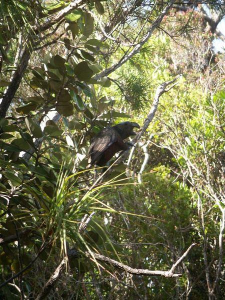 PICT1777-Kaka parrot on Ulva.JPG