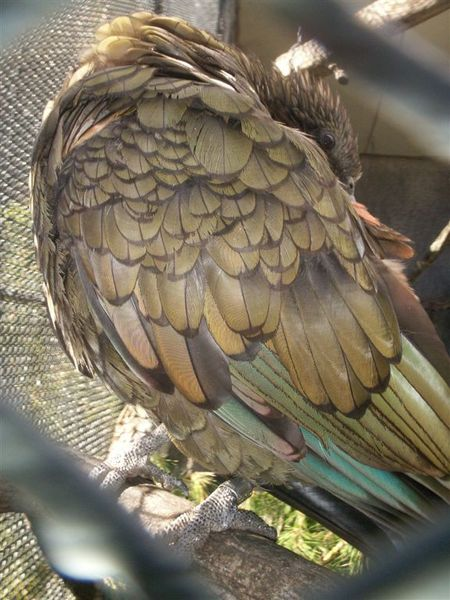 PICT1852-Kea in Queens Park, Invercargill.JPG