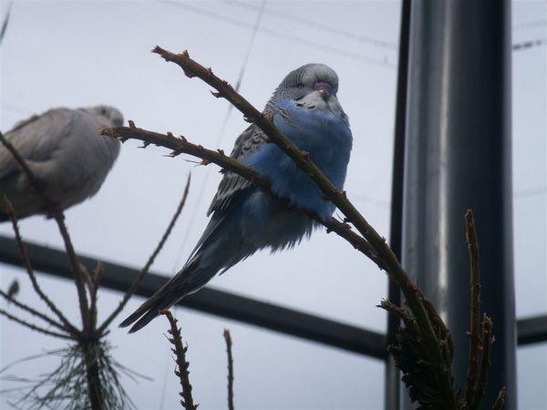 PICT1862-Parakeet taking a nap in Queens Park, Invercargill.JPG