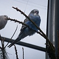 PICT1862-Parakeet taking a nap in Queens Park, Invercargill.JPG