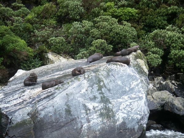 PICT1926-the NZ Fur Seals!!.JPG