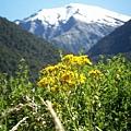 PICT2044-focusing on the flowering carpet in Makarora Valley.JPG