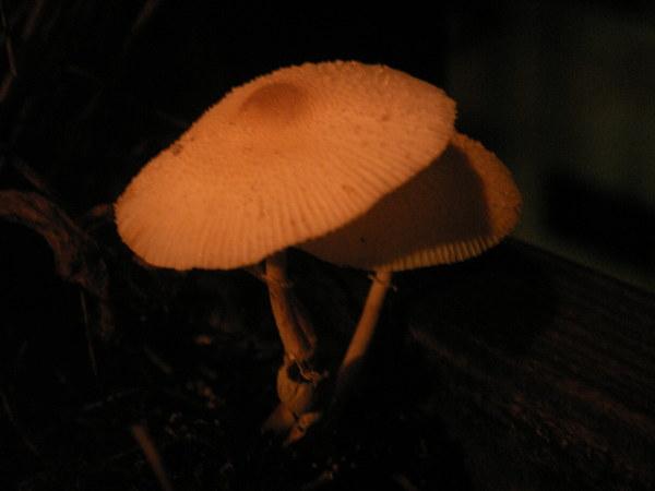 陽台小菇1