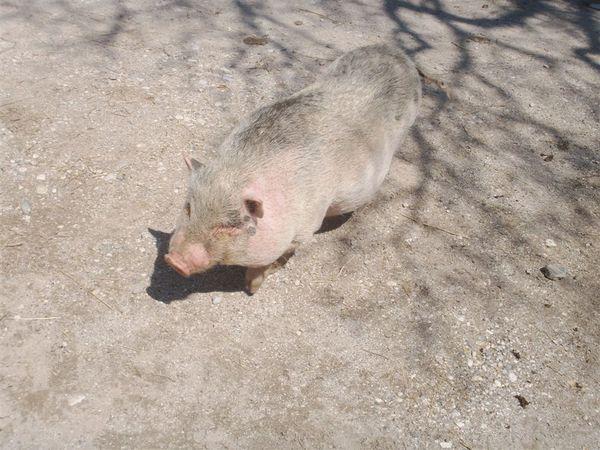 20080427-053 Pregnant piggy in Mrcina Ranc in Studor(Bohinj)-PICT3629.JPG