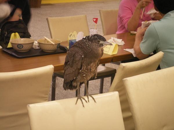PICT0904到台大活動中心用餐區逛街的黑冠麻鷺亞成鳥~.JPG
