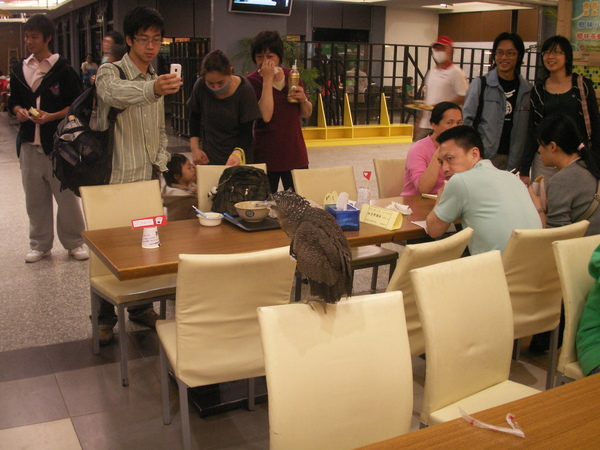 PICT0893到台大活動中心用餐區逛街的黑冠麻鷺亞成鳥~.JPG